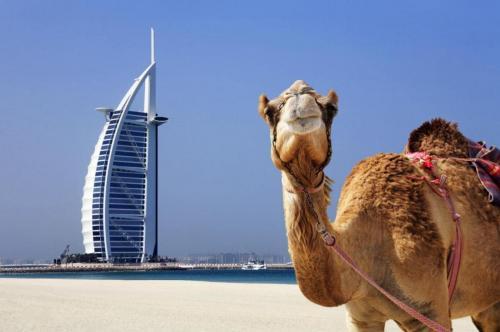 dubai camel burj al arab