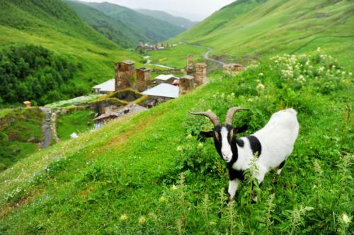 عنزة-في-قرية-أوشغولي-في-جبال-جورجيا-26-صورة-ستجعلك-ترغب-السفر-إلى-جورجيا
