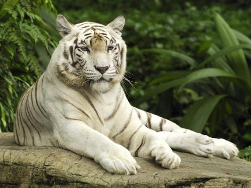 white tiger singapore-normal